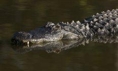 Американський Алігатор плавання у воді у Флориді — стокове фото