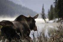 Alci camminano sulla strada in mattina nebbiosa, Parco nazionale Jasper, Alberta, Canada. — Foto stock