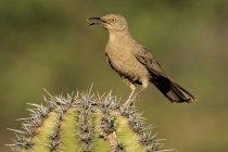 Long-billed thrasher encaramado en cactus, primer plano. - foto de stock