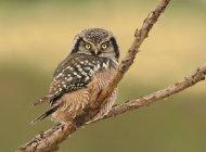 Gufo di falco nordico che si è appollaiato sulla filiale nella foresta. — Foto stock