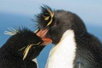 Close-up of breeding pair of rockhopper penguins at Falkland Islands, Southern Atlantic Ocean — Stock Photo