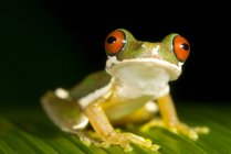 Rana arborícola de ojos rojos posada sobre hojas en Costa Rica - foto de stock