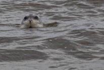 Sello barbudo en el agua, Hudsons Bay, Manitoba, Canadá - foto de stock
