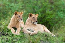African lionesses resting on termite mound in Masai Mara Reserve, Kenya, East Africa — Stock Photo