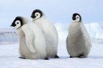 Пухнасті Імператорський пінгвін курчат ходьба на снігу, сніг пагорбі острова, Weddell море, Антарктида — стокове фото
