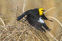 Жовтоголова blackbird, знімаючи з довгій траві, Закри. — стокове фото
