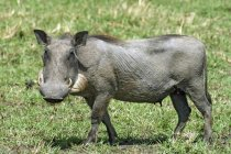 Female warthog walking on green grassy meadow in Kenya, Africa — Stock Photo