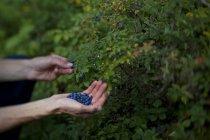 Руки людини збирання ягід в Wabakimi Провінційний парк, Онтаріо, Канада — стокове фото
