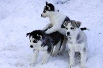Siberian Husky Welpen spielen im Schnee. — Stockfoto
