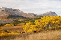 Weidevieh und Rocky Mountains, Waterton Lakes Nationalpark, Alberta — Stockfoto