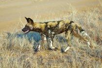 Африканские дикие собаки охота лугу национального парка Самбуру, Кения, Восточной Африки — стоковое фото