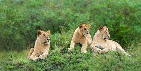 Африканской львицы, опираясь на термитами курган в Масаи Мара резерва, Кения, Восточной Африке — стоковое фото