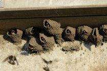 Кліфф ластівки виглядає зі грязьових формується гнізда — стокове фото