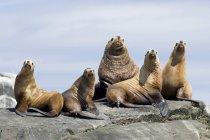 Colonia di leoni marini poggiati su rocce, Gwaii Haanas, Haida Gwaii, Columbia Britannica, Canada — Foto stock