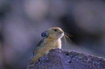 Пищуха, сидя на скале в национальном парке Джаспер, Альберта, Канада. — стоковое фото