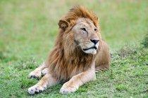 Leone africano che riposa sul prato del Masai Mara Reserve, Kenya, Africa orientale — Foto stock
