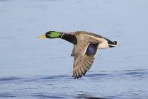 Colverts mâles en vol au-dessus de l'eau de la lagune. — Photo de stock