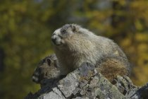 Dois marmots hoary sentado sobre as rochas, close-up — Fotografia de Stock