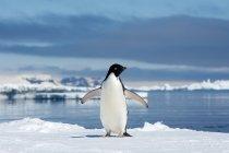 Adelie penguin loafing by ice edge on Petrel island, Antarctic Peninsula — Stock Photo