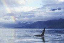 Orca y arco iris sobre el agua en la Columbia Británica, Canadá. - foto de stock