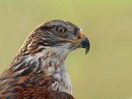 Eisenhaltiger Falke sitzt im Freien, Porträt. — Stockfoto