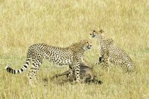 Cheetahs with wildebeest prey in meadow of Masai Mara Reserve, Kenya, East Africa — Stock Photo