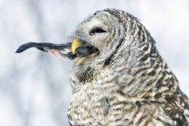 Смугасту сову ingesting здобич дзьобом, Закри. — стокове фото