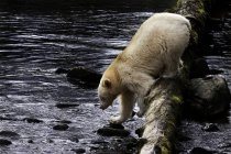 Ours Kermode marchant dans l'eau de Great Bear Rainforest of British Columbia, Canada — Photo de stock