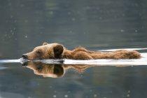 Grizzli nageant dans l'eau de la rivière . — Photo de stock