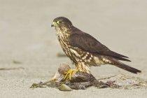 Falcão de Merlin empoleirado na praia e alimentação no rapina, close-up — Fotografia de Stock