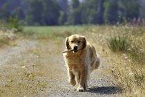 Cão retriever dourado, recuperando a vara em estrada rural — Fotografia de Stock