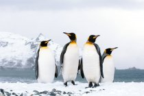 King penguins loafing on snowy beach of Island of South Georgia, Antarctica — Stock Photo