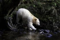 Ours Kermode marchant à l'eau de Great Bear Rainforest of British Columbia, Canada — Photo de stock