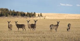 Herd of female Whitetail Deer in plain landscape — Stock Photo
