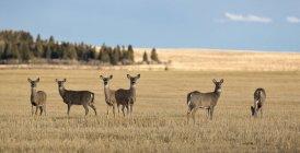 Rebanho de cervos feminino na paisagem de planície — Fotografia de Stock