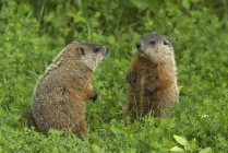 Groundhogs sitting face to face on hind legs in green summer meadow, Ontario, Canada — Stock Photo