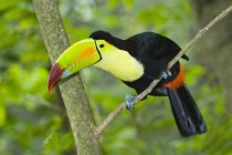 Keel-billed toucan in tropical forest of Yucatan Peninsula, Mexico — Stock Photo