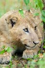 Close-up of Africa lion cub in Masai Mara Reserve, Kenya, East Africa — Stock Photo