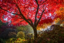 Autumnal foliage in Japanese Garden, Butchart Gardens, Brentwood Bay, British Columbia, Canada - foto de stock