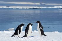 Adelie penguins loafing on ice edge by water, Petrel island, Antarctic Peninsula — Stock Photo
