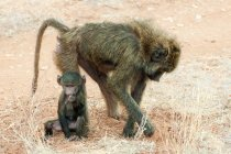 Olive baboon foraging with newborn baby animal in Kenya, East Africa — Stock Photo