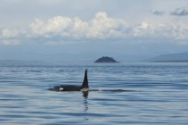 Southern resident orca in water by Pender Island in Canada — Stock Photo