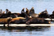 Seelöwen sonnen sich am Kai in der Nähe der Bucht von Fanny, Kanada — Stockfoto