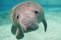 Флорида Манати, подводное плавание в Crystal River, Флорида, США — стоковое фото