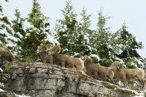 Vue faible angle de béliers moutons bighorn en forêt de l'Alberta, Canada — Photo de stock
