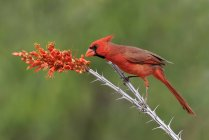 Northern cardinal perched on Ocotillo branch. — Stock Photo