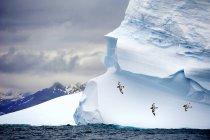 Pintado petrels voando iceberg aterrado passado, Ilha de Geórgia do Sul, Antártida — Fotografia de Stock