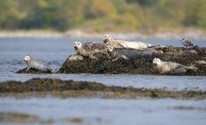 Gruppo di foche portuali appoggiate sulla barriera corallina in acqua di mare . — Foto stock