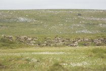 Herd of barren-ground caribous in summer migration at Northwest Territories, Canada — Stock Photo