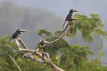 Many-banded aracaris perched on tree in Ecuador, South America. — Stock Photo